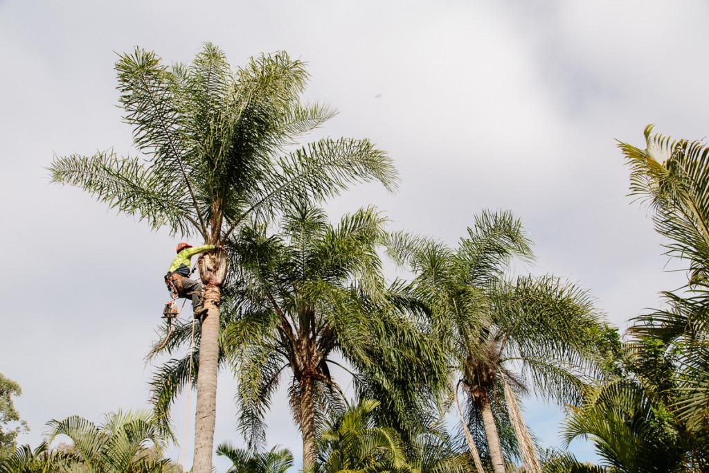 palm tree pruning Brisbane